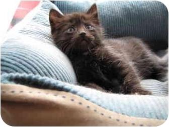 Domestic Shorthair Kitten for adoption in Saanichton, British Columbia - Mini Cooper