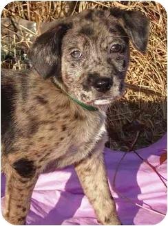 Labrador Retriever/Australian Cattle Dog Mix Puppy for adoption in Mobile, Alabama - FAIRHOPE