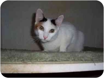 Calico Cat for adoption in North Plainfield, New Jersey - Posie