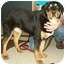Photo 4 - Rottweiler/Shepherd (Unknown Type) Mix Puppy for adoption in North Judson, Indiana - Mary