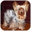 Photo 2 - Yorkie, Yorkshire Terrier Dog for adoption in Tallahassee, Florida - Cricket