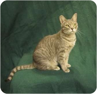 Egyptian Mau Cat for adoption in Davis, California - Gizmo