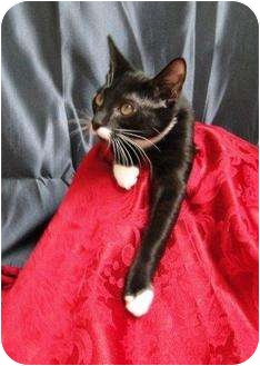 Domestic Shorthair Cat for adoption in Orlando, Florida - Oreo