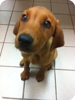 Golden Retriever Mix Puppy for adoption in Foster, Rhode Island - Minnow