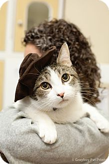 Domestic Shorthair Cat for adoption in Mission Viejo, California - Hancho