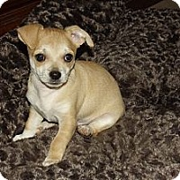 Adopt A Pet :: Nugget - Phoenix, AZ
