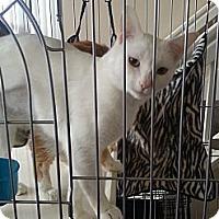 Adopt A Pet :: Lil Blue - Laguna Woods, CA