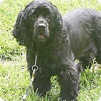 Adopt A Pet :: Ace - Toledo, OH