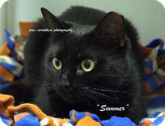 Domestic Shorthair Cat for adoption in Rye, New York - Summer