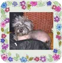 Chinese Crested/Yorkie, Yorkshire Terrier Mix Dog for adoption in New York, New York - Oscar