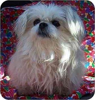 Shih Tzu/Pekingese Mix Dog for adoption in Old Fort, North Carolina - Tiny