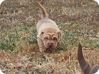 Shar Pei Mix Puppy for adoption in Manhattan, Kansas - Cole