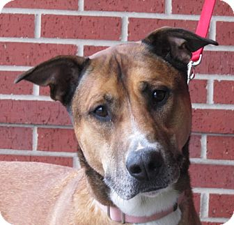 Belgian Malinois/American Bulldog Mix Dog for adoption in Overland Park, Kansas - A067751 Layla