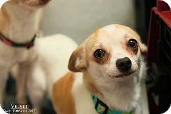 Chihuahua Mix Dog for adoption in Portland, Oregon - Velvet