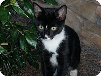 Domestic Shorthair Cat for adoption in Winder, Georgia - Jack