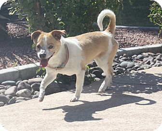 Terrier (Unknown Type, Small)/Shiba Inu Mix Dog for adoption in Henderson, Nevada - Rusty