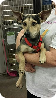 Chihuahua/Shepherd (Unknown Type) Mix Dog for adoption in Alexis, North Carolina - Taz
