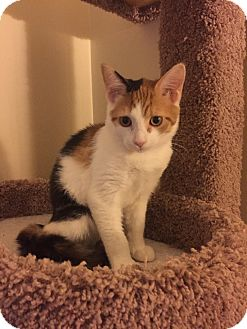 Calico Cat for adoption in Irwin, Pennsylvania - Noelle