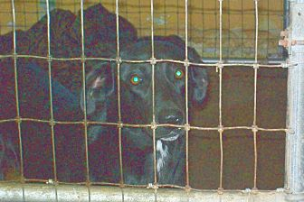 Labrador Retriever/Retriever (Unknown Type) Mix Dog for adoption in Mexia, Texas - Babycakes