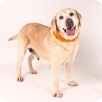 Labrador Retriever Dog for adoption in San Francisco, California - Sara