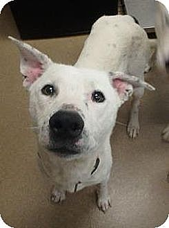 Dalmatian/Shepherd (Unknown Type) Mix Dog for adoption in Las Vegas, Nevada - Buckeye