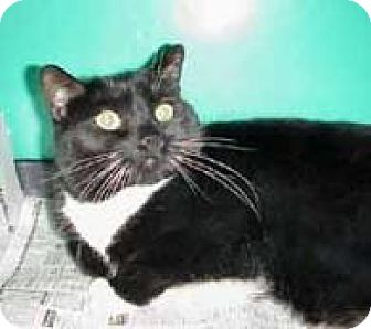 Domestic Shorthair Cat for adoption in Wakefield, Massachusetts - Boogie