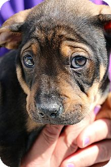 Shepherd (Unknown Type)/Boxer Mix Puppy for adoption in Detroit, Michigan - Crush-Adopted!