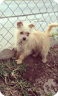 Yorkie, Yorkshire Terrier/Chihuahua Mix Dog for adoption in beverly hills, California - Mia