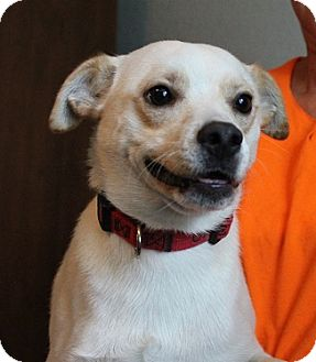 Feist/Chihuahua Mix Dog for adoption in Owasso, Oklahoma - JoJoe