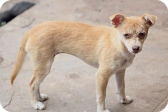 Chihuahua Mix Dog for adoption in Allentown, Pennsylvania - Boston