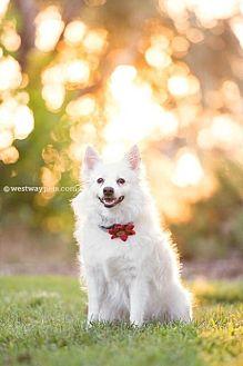 Eskimo Dog Dog for adoption in El Cajon, California - Pretty