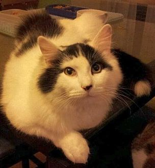 Domestic Shorthair Cat for adoption in Greensboro, North Carolina - Sully