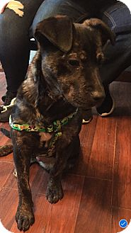 Mastiff Mix Puppy for adoption in South Park, Pennsylvania - Klondike