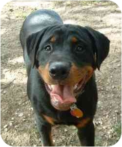 Rottweiler Puppy for adoption in Cedar Creek, Texas - Diesel
