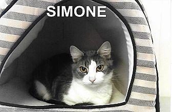 Domestic Mediumhair Cat for adoption in Medway, Massachusetts - Simone