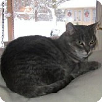 Domestic Shorthair Cat for adoption in Barrie, Ontario - Sadie