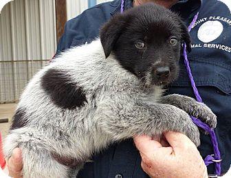 Blue Heeler/Australian Shepherd Mix Puppy for adoption in Plano, Texas - Huckleberry