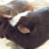 Adopt A Pet :: Cagney and Lacey - Williston, FL