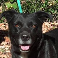 Labrador Retriever Mix Dog for adoption in Tyler, Texas - AA-Braxton
