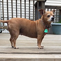 Chihuahua Dog for adoption in Salem, New Hampshire - Mama