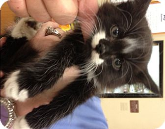 Norwegian Forest Cat Kitten for adoption in Buford, Georgia - Sylvester
