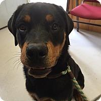 Rottweiler Puppy for adoption in Stuart, Virginia - Porter