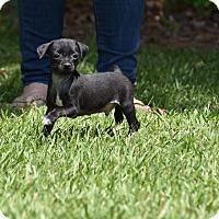 Adopt A Pet :: Baron - Groton, MA