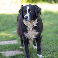 Adopt A Pet :: MOO - Corning, CA