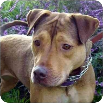 German Shepherd Dog/Rhodesian Ridgeback Mix Dog for adoption in Berkeley, California - Nina