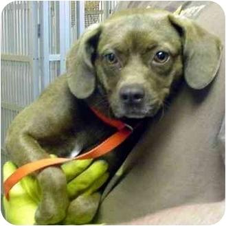 Pug/Labrador Retriever Mix Dog for adoption in Manassas, Virginia - Candy