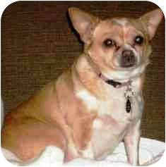Chihuahua Dog for adoption in Osseo, Minnesota - Buffy