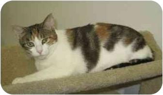 Calico Cat for adoption in Powell, Ohio - Bonnie