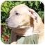 Photo 2 - American Pit Bull Terrier/Labrador Retriever Mix Puppy for adoption in El Segundo, California - Clem