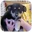 Photo 2 - English Shepherd Mix Puppy for adoption in Burnsville, North Carolina - Angel